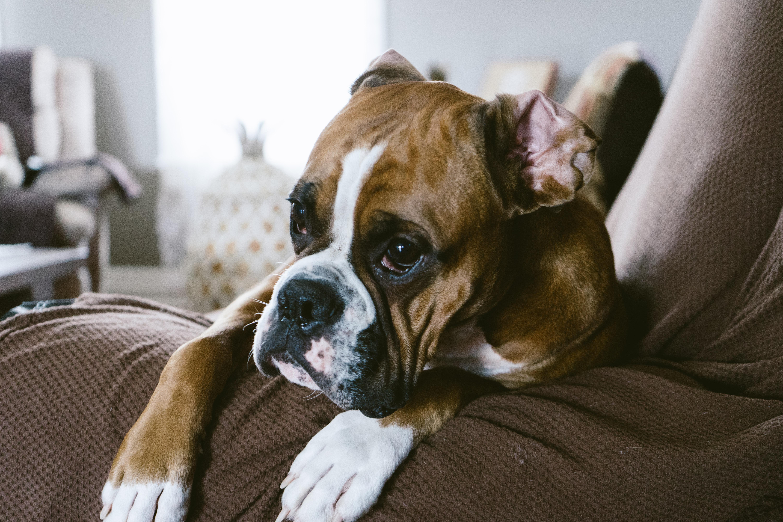 animal-boxer-canine-1769538.jpg
